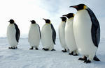 150_a_majestic_line_of_emperor_penguins_antarctica