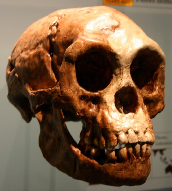 Craneo_Homo_floresiensis