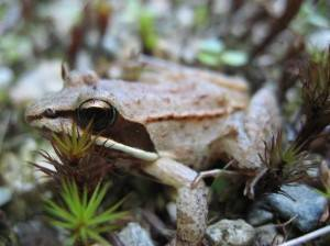 Lithobates sylvaticus