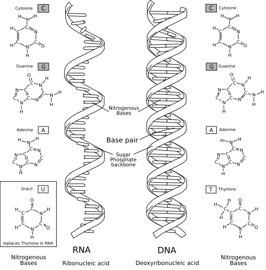 Comparación: RNA - DNA