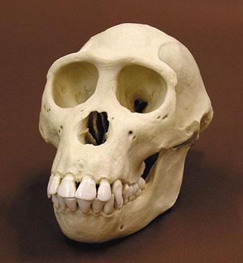 Cráneo Pan paniscus