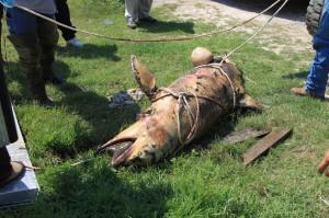 Delfín muerto por vertido de petroleo en El Golfo de México.