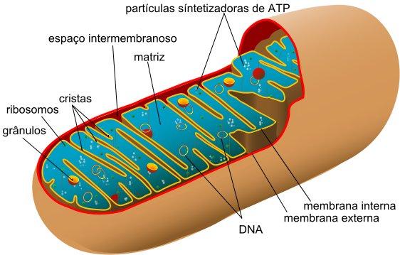 Diagrama de una mitocondria humana