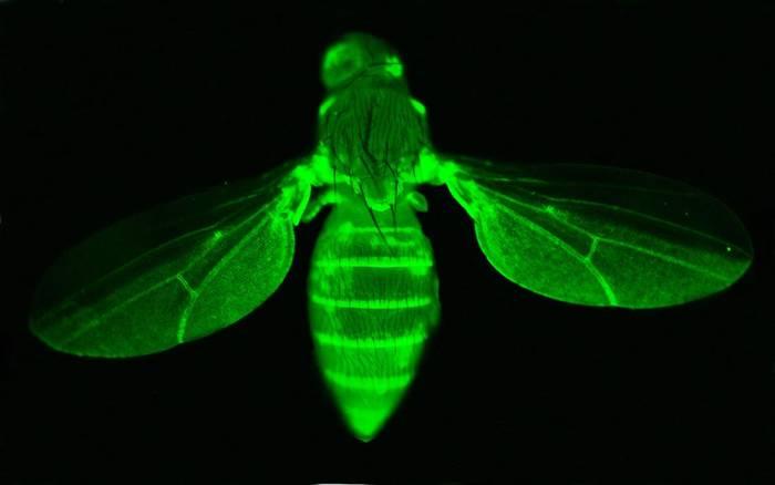 Mosca de la fruta (Drosophila melanogaster) con el gen GFP