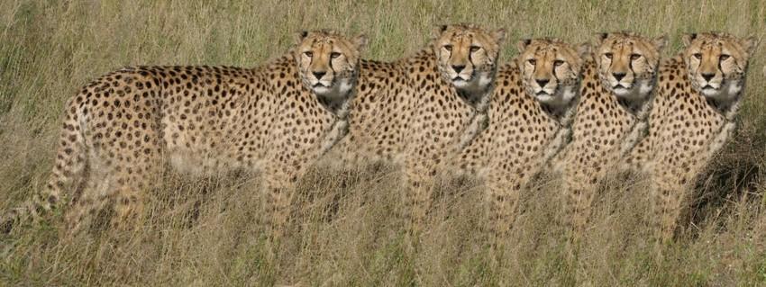 Los guepardos son muy parecidos entre si.