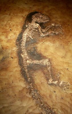 Fosil Ida. (Foto de ABC)
