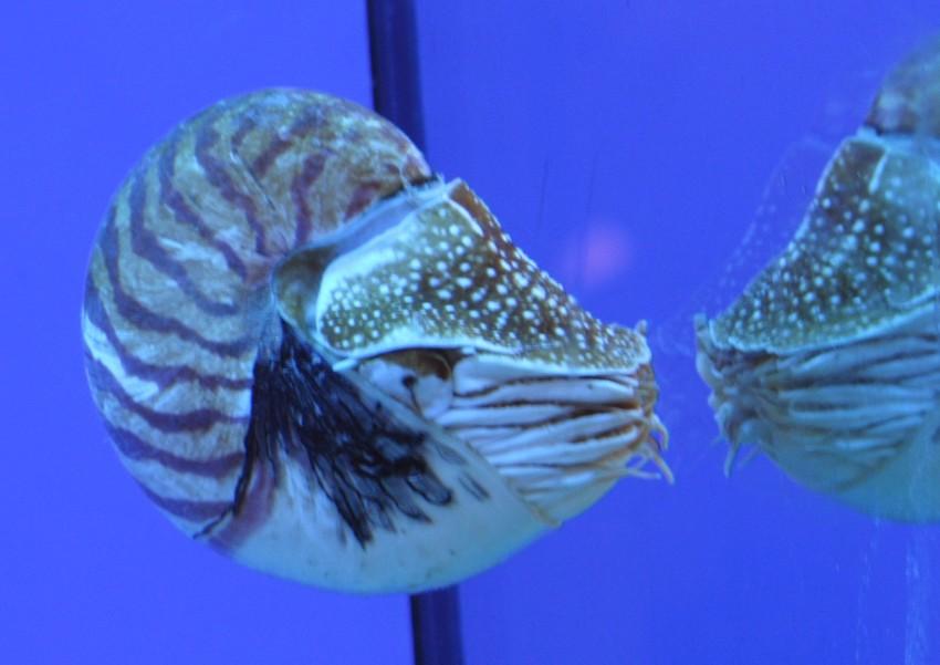 Nautilus (Foto A.Castro ac. Finisterre - A Coruña)