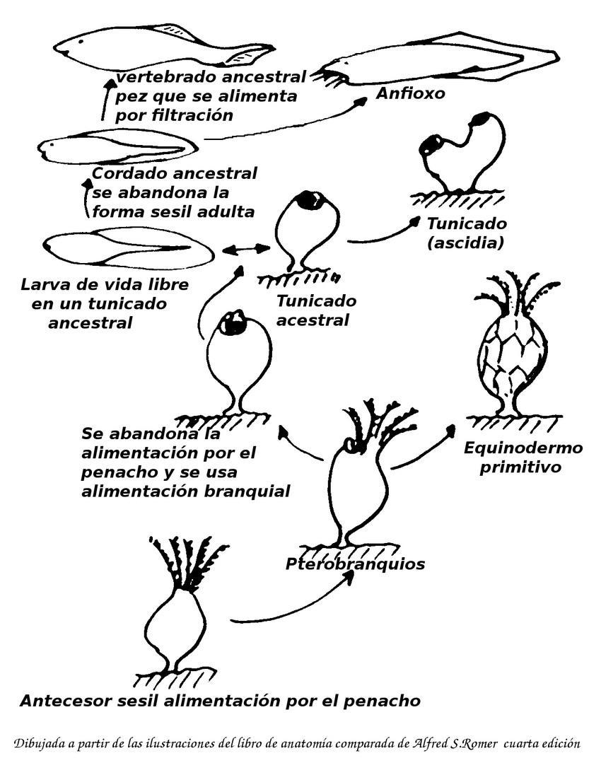 Origen de los vertebrados