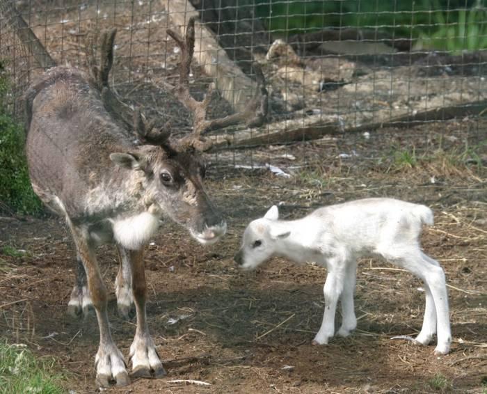 Mama reno y su cría separados del resto de sus congéneres. (Zoo de Santillana)