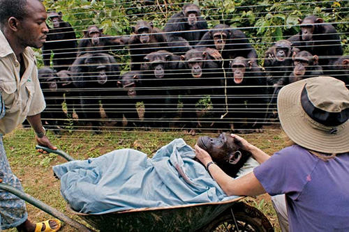 Funeral de un chimpancé